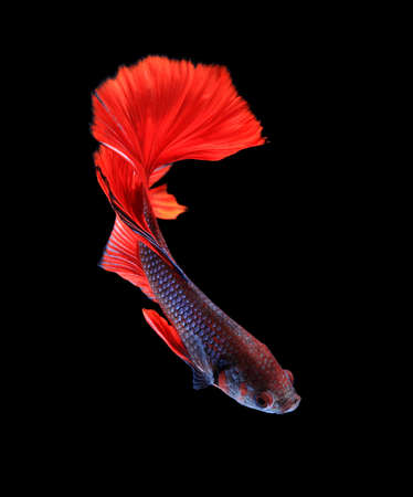 crown tail: Red and blue siamese fighting fish halfmoon , betta fish isolated on black background.