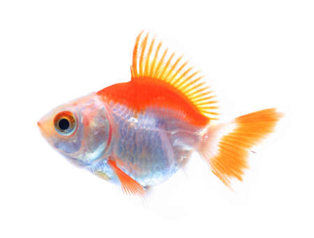 carassius gibelio: Oranda goldfish isolated on white, high quality studio shot manualy removed from background so the finnage is complete
