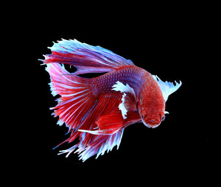animal fight: Red and blue siamese fighting fish, betta fish isolated on black background.