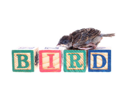 indoctrination: Baby sparrow with wooden blocks isolated on white background.