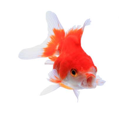 oranda: Oranda goldfish isolato su bianco, studio di alta qualit� girato manualy rimosso dal fondo in modo che il pinne � completa Archivio Fotografico