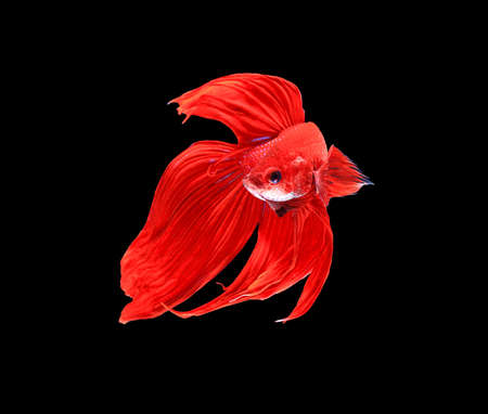 fire fin fighting: Red siamese fighting fish, betta fish isolated on black background.