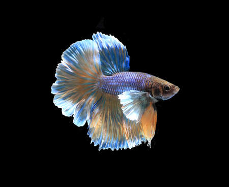 blue fish: Gold and blue siamese fighting fish halfmoon , betta fish isolated on black background.