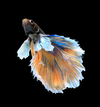 blue siamese: Gold and blue siamese fighting fish, betta fish isolated on black background.