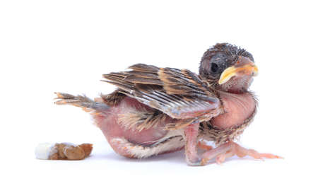 Baby sparrow bird is defecate on white background.