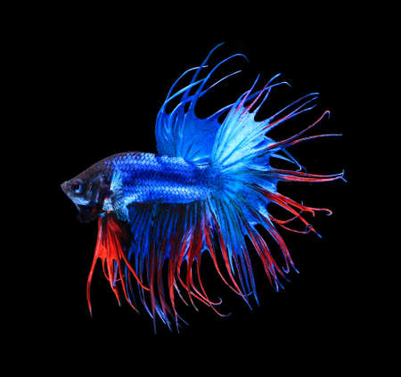 blue siamese: Red and blue siamese fighting fish halfmoon , betta fish isolated on black background.
