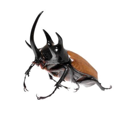Rhinoceros beetle 5 He beetle. 版權商用圖片 - 42891037