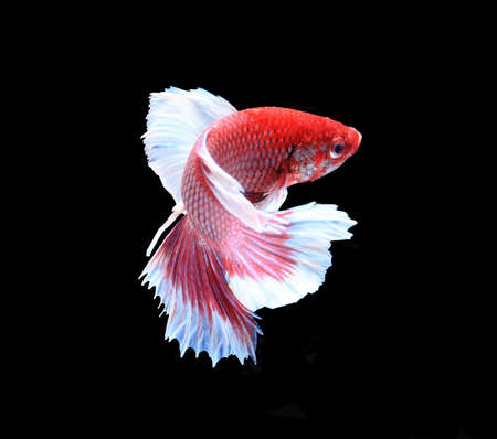 fire fin fighting: Red and white siamese fighting fish, betta fish isolated on black background.