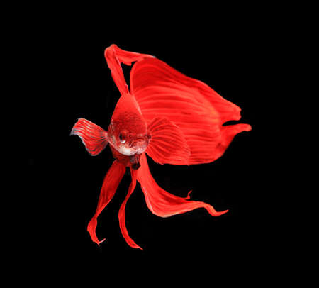 Red siamese fighting fish, betta fish isolated on black background.