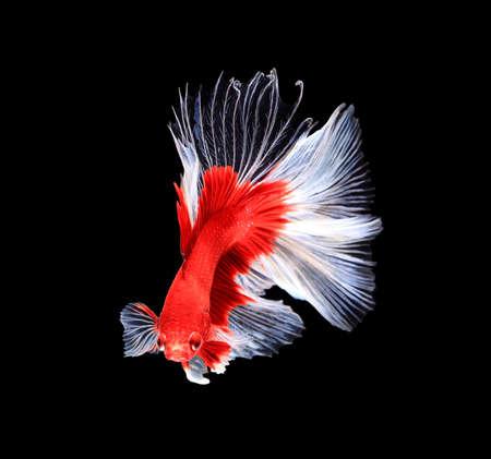 pelea: Rojo y blanco siam�s combates peces media luna, pez Betta aislados en fondo negro. Foto de archivo