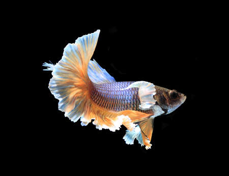 half moon tail: Gold and blue siamese fighting fish half moon , betta fish isolated on black background. Stock Photo