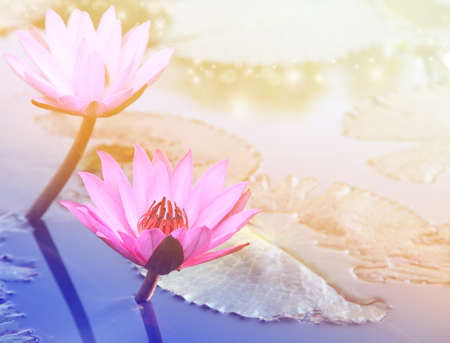 lotus flowers: Pink lotus flower.Pink lotus blossoms or water lily flowers blooming on pond