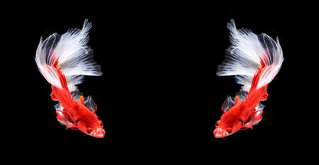 fire fin fighting: Red and white siamese fighting fish halfmoon ,Twin betta fish isolated on black background. Stock Photo