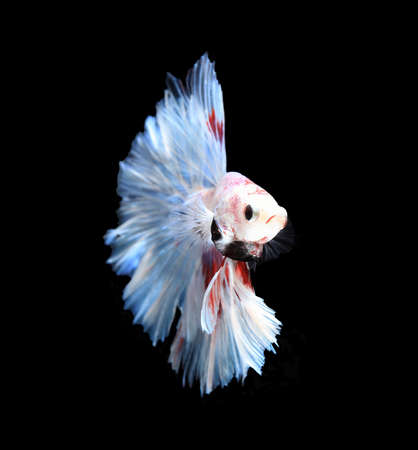 fire fin fighting: Red and white siamese fighting fish halfmoon , betta fish isolated on black background.