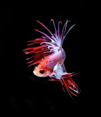 blue fish: Red and blue siamese fighting fish, betta fish isolated on black background.