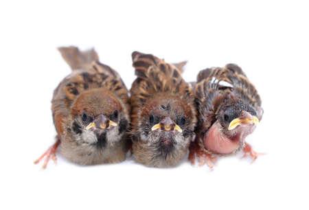 brood: Macro three baby brood sparrow white background.