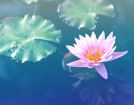 Pink lotus flower.Pink lotus blossoms or water lily flowers blooming on pond.