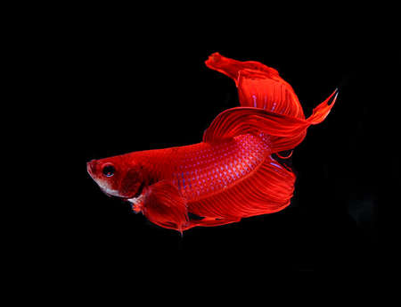 fire fin fighting: Red dragon siamese fighting fish , betta isolated on white background.