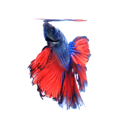 blue fish: Red and blue half moon butterfly  siamese fighting fish, betta fish isolated on black background.