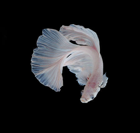 fire fin fighting: White Platt Platinum Siamese Fighting Fish .White siamese fighting fish, betta fish isolated on black background. Stock Photo