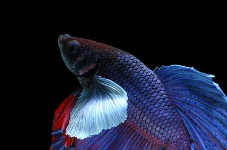 blue siamese: blue siamese fighting fish, betta fish isolated on black background.