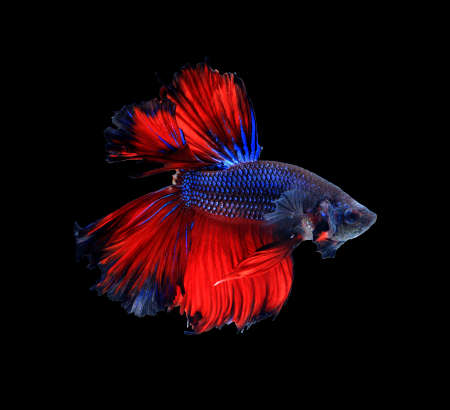 dragon swim: Red and blue siamese fighting fish halfmoon , betta fish isolated on black background.