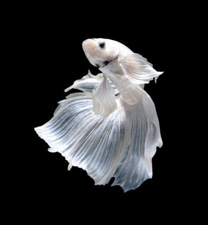White Platt Platinum Siamese Fighting Fish .White siamese fighting fish, betta fish isolated on black background. Banque d'images