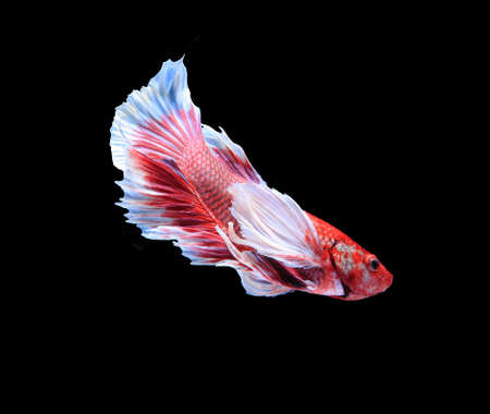 blue siamese: Red and blue siamese fighting fish, betta fish isolated on black background.