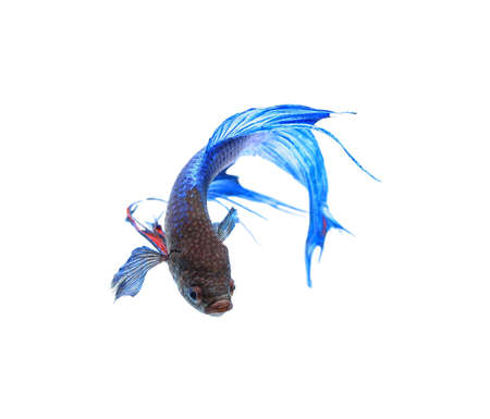 blue siamese: Blue siamese fighting fish , betta isolated on white background. Stock Photo
