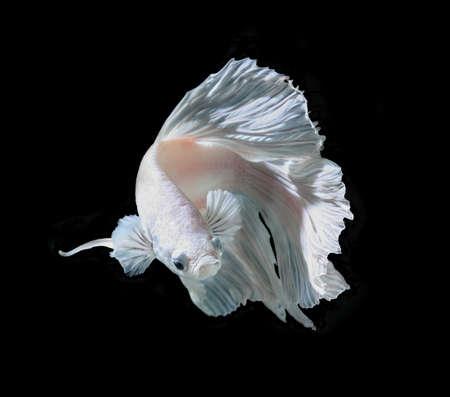 platinum: White Platt Platinum Siamese Fighting Fish .White siamese fighting fish, betta fish isolated on black background. Stock Photo