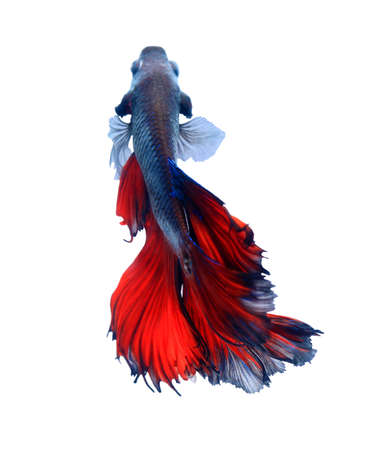 Dark red Siamese fighting fish , betta fish was isolated on white background. Fish also action of turn head in different direction during swim.