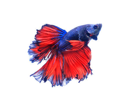 half moon tail: Red and blue half moon butterfly  siamese fighting fish, betta fish isolated on black background.