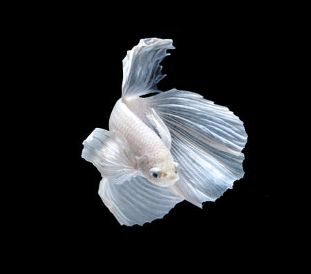 animal fight: White Platt Platinum Siamese Fighting Fish .White siamese fighting fish, betta fish isolated on black background. Stock Photo