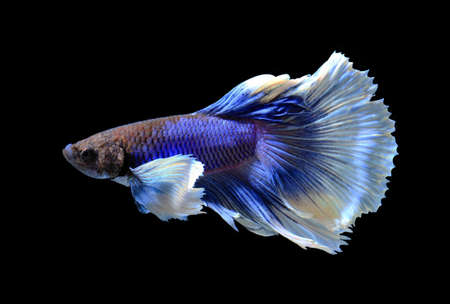 fire fin fighting: White and blue siamese fighting fish, betta fish isolated on black background.