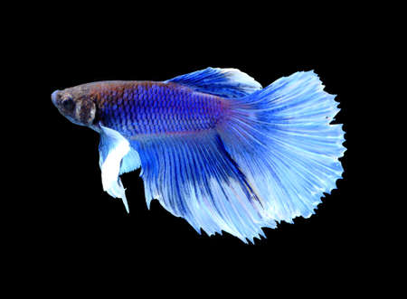 fire fin fighting: blue siamese fighting fish, betta fish isolated on black background.