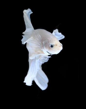 fire fin fighting: White Platt Platinum Siamese Fighting Fish .White siamese fighting fish, betta fish isolated on black background. Stock Photo