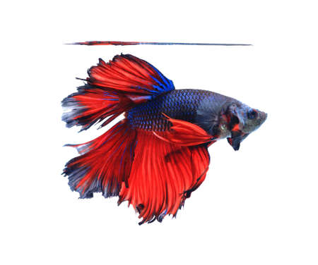 half fish: Red and blue half moon butterfly  siamese fighting fish, betta fish isolated on black background.