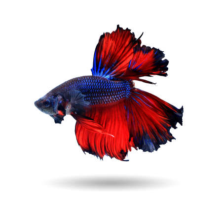 blue fish: Red and blue siamese fighting fish halfmoon , betta fish isolated on white background.