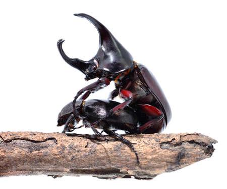 mandibles: Rhinoceros beetles are breeding on white background.fighting beetle (rhinoceros beetle) isolated on white