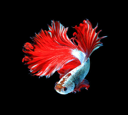 white space: Red dragon siamese fighting fish, betta fish isolated on black background.