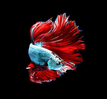 dragon swim: Red dragon siamese fighting fish, betta fish isolated on black background.