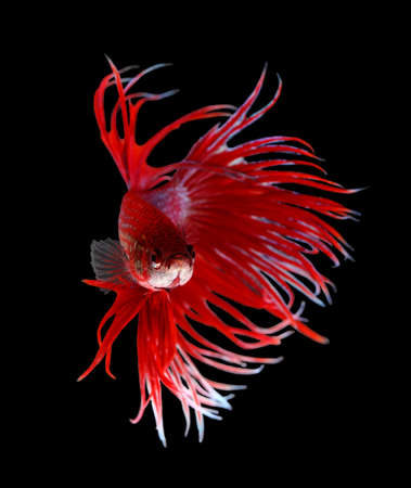 dragon fish: Betta Fish closeup. Colorful Dragon Fish. Aquarium. Isolated on a black background