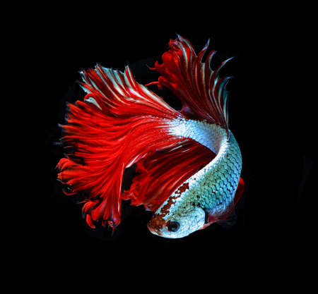 red dragon: Red dragon siamese fighting fish, betta fish isolated on black background.