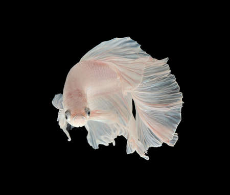 animal fight: White siamese fighting fish, betta fish, big ear profile, on black background.White Platt Platinum Siamese Fighting Fish .White siamese fighting fish, betta fish isolated on black background.