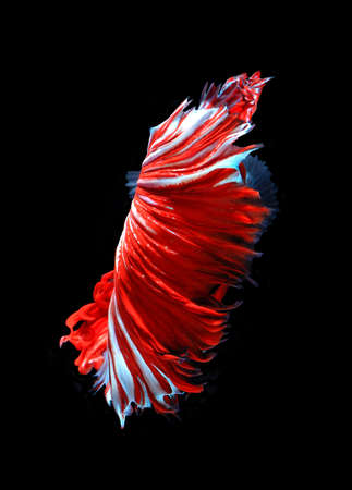 fish tail: Red dragon siamese fighting fish, betta fish isolated on black background.Red fish tail. Stock Photo
