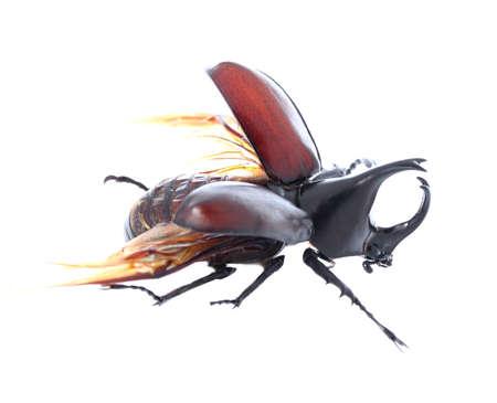 hexapoda: Rhinoceros beetle, Rhino beetle, Hercules beetle, Unicorn beetle, Horn beetle isolated