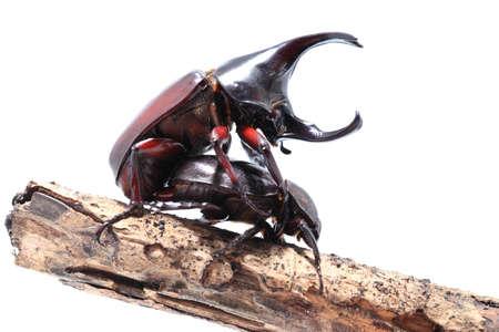 mandibles: Rhinoceros beetles are breeding on white background.fighting beetle rhinoceros beetle isolated on white