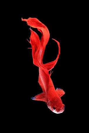 dragon fish: Red dragon siamese fighting fish , betta isolated on white background.