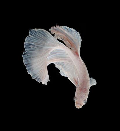 fire fin fighting: Beautiful White Platt Platinum Siamese Fighting Fish .White siamese fighting fish, betta fish isolated on black background. Stock Photo