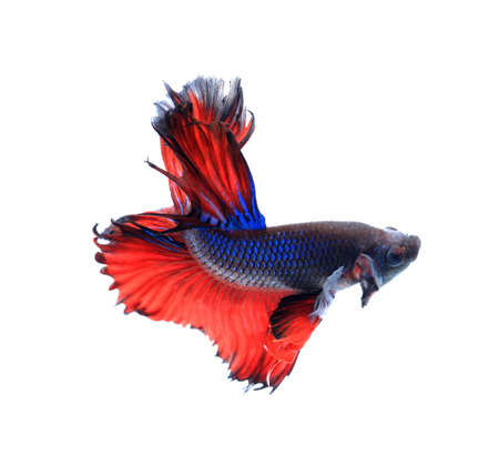 moon fish: Red and blue half moon butterfly siamese fighting fish, betta fish isolated on black background. Stock Photo